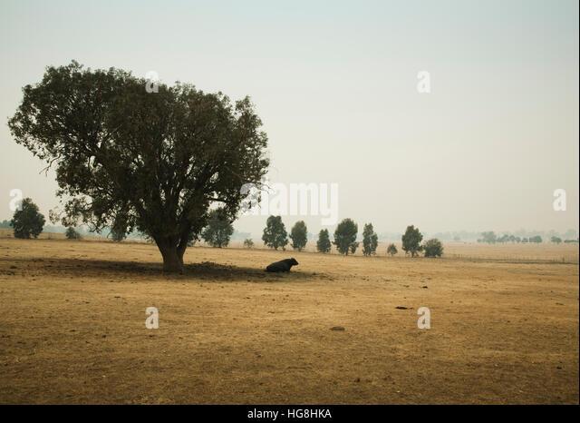 Ein Stier sitzt im Schatten eines Baumes auf einem trockenen Feld Stockbild