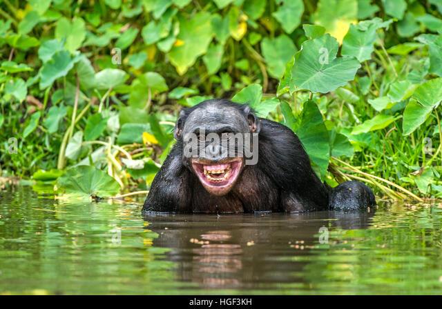 Lächelnde Bonobo im Wasser.  Bonobo im Wasser mit Freude und einem Lächeln. Bonobo (Pan Paniscus). Demokratische Stockbild