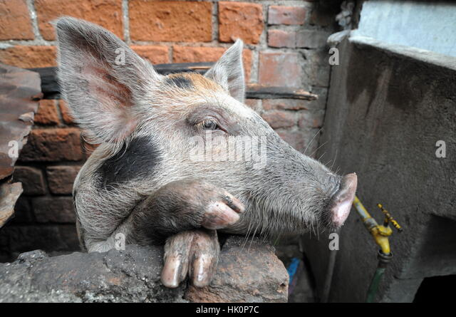 funny swine stockfotos funny swine bilder seite 4 alamy. Black Bedroom Furniture Sets. Home Design Ideas