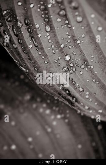 Nasse Blätter mit Wassertropfen. Natur Details in schwarz und weiß. Stockbild