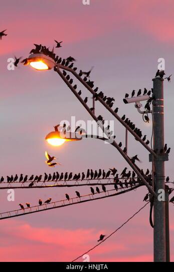 Gemeinsamen Stare Sturnus Vulgaris, Schlafplatz auf Stromleitungen und eine helle Stelle bei Sonnenaufgang. Stockbild