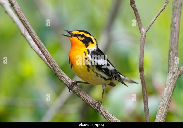 Eine männliche Blackburnian Grasmücke, Setophaga Fusca, eine territoriale Lied singen. Stockbild