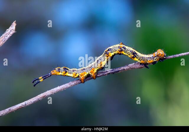 Eine Hülsenfrucht-Raupe, Selenisa Sueroides, ausgestreckt auf einem Zweig. Stockbild