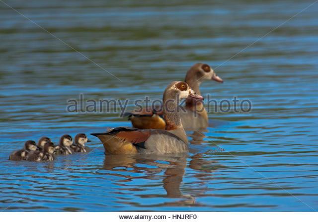 Eine Familie von ägyptische Gans, Alopochen Aegyptiaca, auf der Oberfläche des Wassers. Stockbild