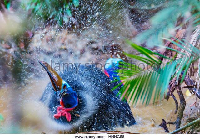 Im Rahmen ihrer umwerben Ritual bringt eine weibliche Kasuar prospektive Kumpels eine Pfütze zum Baden. Stockbild