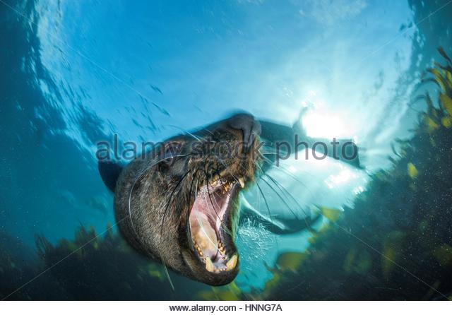 Ein Bull Seebär behauptet seine Dominanz in Kapstadts Tafelberg Nationalpark. Stockbild