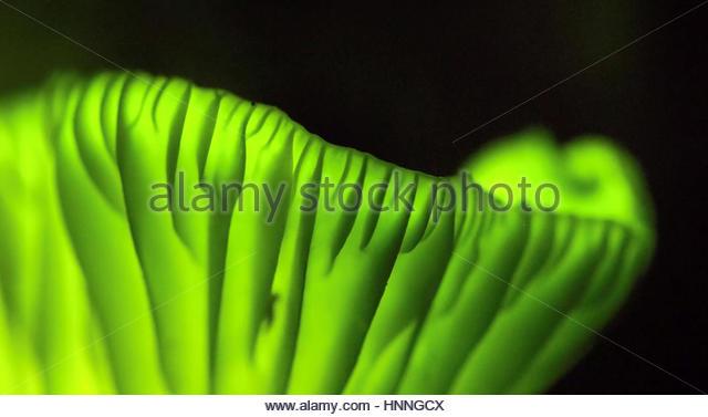 """Brasilianische """"Kokosnuss Blume"""" Pilze Leuchten im Dunkeln, vielleicht lockt Insekten, die Pilzsporen Stockbild"""