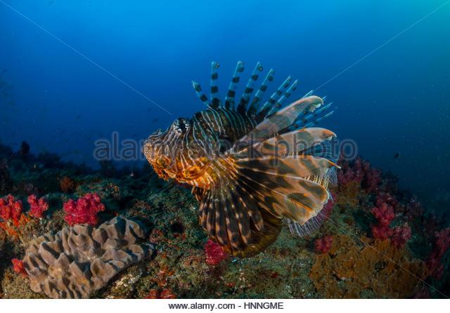 Ein Rotfeuerfisch schwimmt entlang Doodles Riff. Stockbild