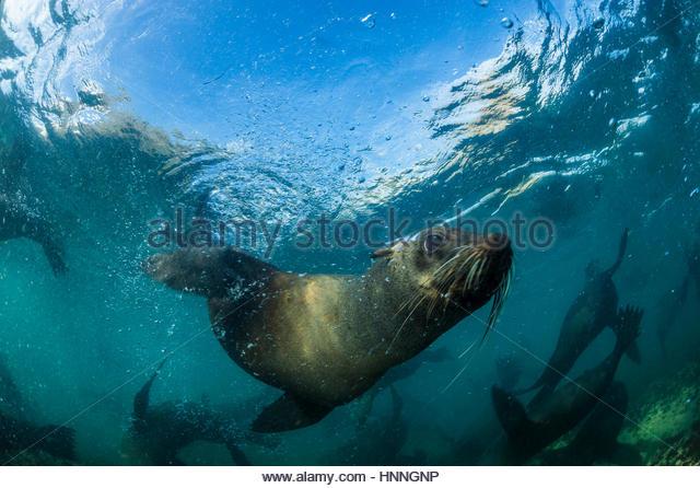 Ein Seebär schwimmt in Kapstadts Tafelberg Nationalpark. Stockbild