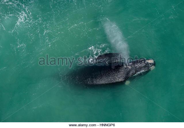 Ein Southern Right Wale und Kalb in Paarung und kalben Gründen in De Hoop Marine Protected Area. Stockbild