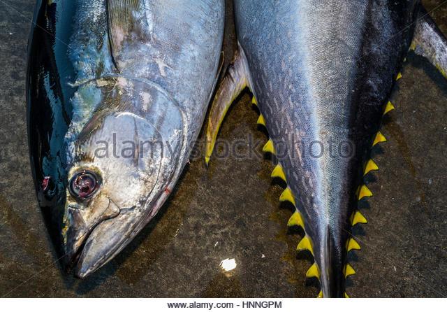 Frisch gefangen Offshore-pelagische gelben Thunfisch in A Thunfisch Fischen Derby in Hout Bay. Stockbild