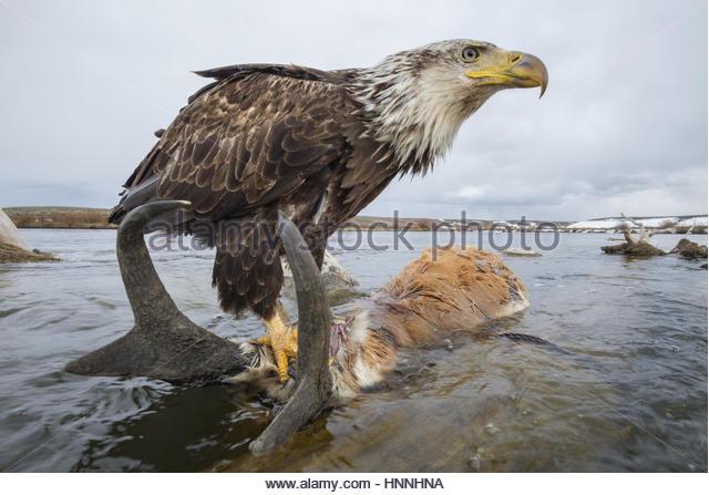 Remote-Kamera fängt einen Adler auf einen Ertrunkenen Gabelbock hocken. Stockbild