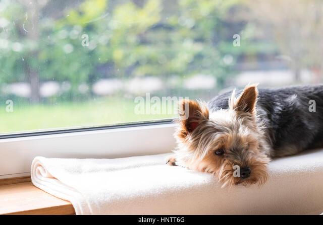 Ein Hund wartet auf einer Fensterbank. Stockbild