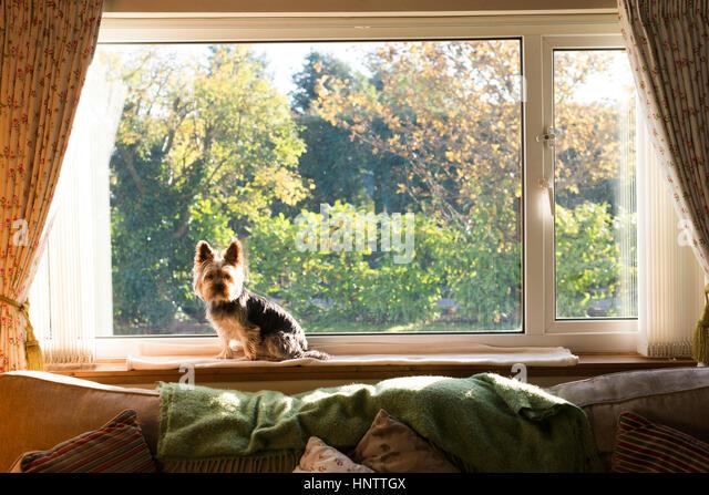 Ein Hund saß und sah durch das Fenster Stockbild