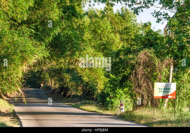 Jamaica St Elisabeth Bamboo Avenue 2 1 2 Meilen lange Bambusstämmen Verwilderung der Straße wie einen Stockbild
