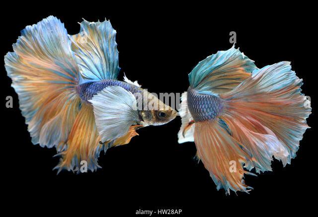 Betta Fisch in Freiheit handeln und zeigen die schönen Flossen Schweif Foto Blitzbeleuchtung. Stockbild