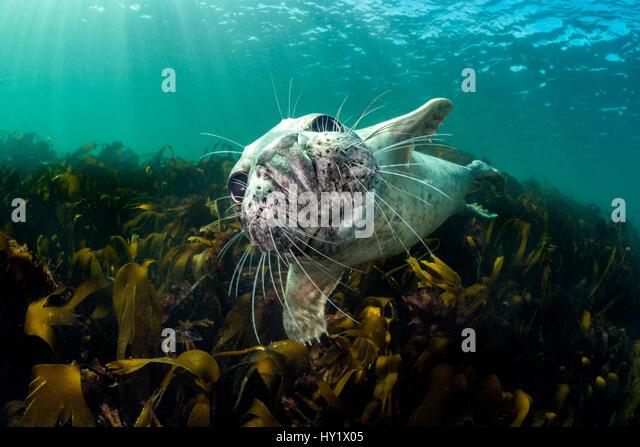 Neugierige junge grau versiegeln (Halichoerus Grypus) über Kelp. Farne Islands, Northumberland, England, Vereinigtes Stockbild