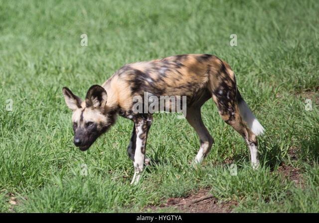 Afrikanischer Wildhund (LYKAON Rictus) Stockbild
