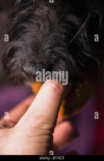 ein schwarzer Hund einen Belohnung Snack aus der Hand eines Mannes. Stockbild