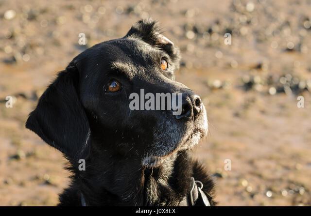 schwarzer Labrador Retriever Hund Besitzer erwartet ein Lebensmittel blickte zu behandeln, nach dem Training am Stockbild