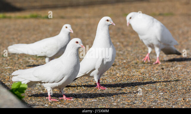 Kleine Herde von 4 weißen Haustauben (Columba Livia Domestica), ähnlich wie weiße Tauben, stehen Stockbild