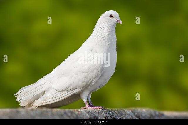 Weiße Taube. Seitenansicht eines Weißen inländischen Taube (Columba livia domestica) steht auf einem Stockbild