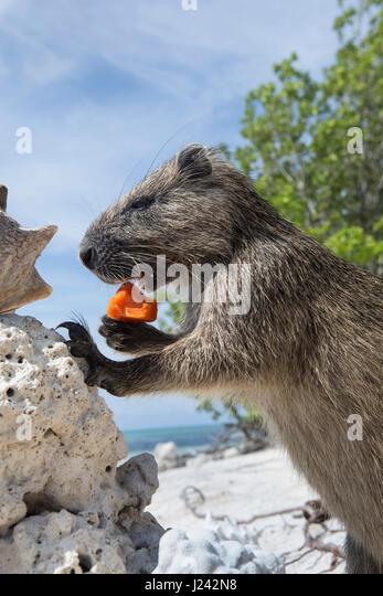 Ein Desmarest Baumratte isst ein Stück Obst auf einem sandigen Strand in Kuba. Stockbild