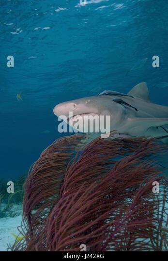 Lemon Shark, Tiger Beach, Bahamas Stockbild