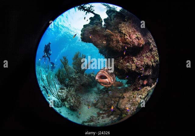 Nassau-Zackenbarsch auf Reinigungsstation. Offenem Mund Pose zeigt seine Bereitschaft für kleine Fische, das Stockbild