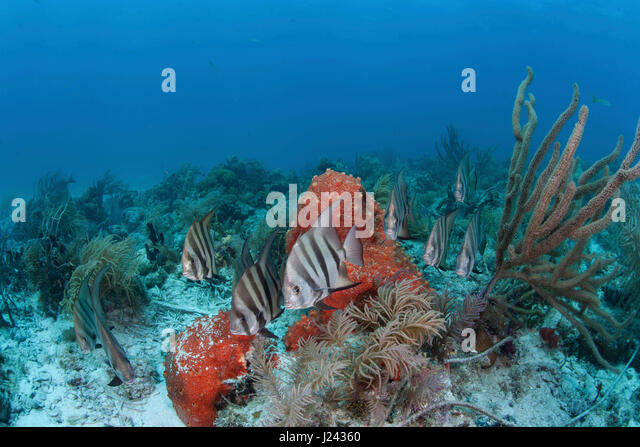 Atlantische Spadefish an einem Patch-Riff in Key Largo. Stockbild