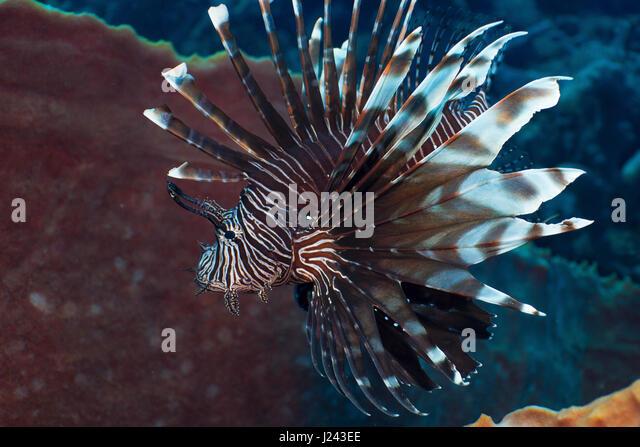 Invasive Rotfeuerfische am Riff in der Karibik. Stockbild