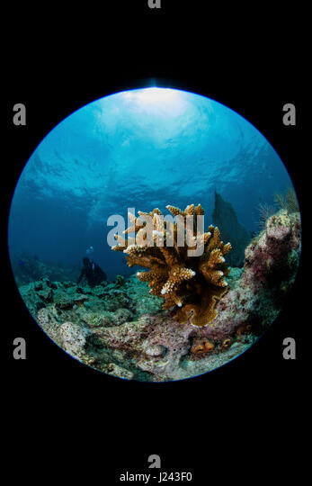 Riff-Szene mit Hirschhorn Korallen. Stockbild