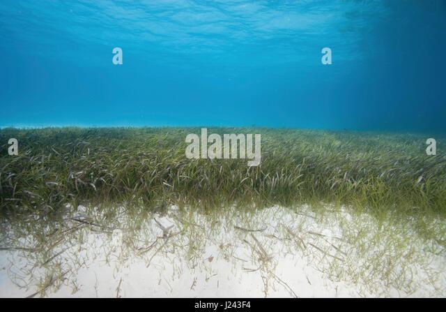 Unterwasser-Blick von Seegras-Bett Stockbild