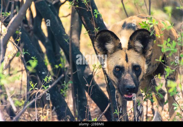 Botswana. Okavangodelta. Khwai-Konzession. Afrikanischer Wildhund (LYKAON Pictus) schaut aus seiner Ruhestätte Stockbild