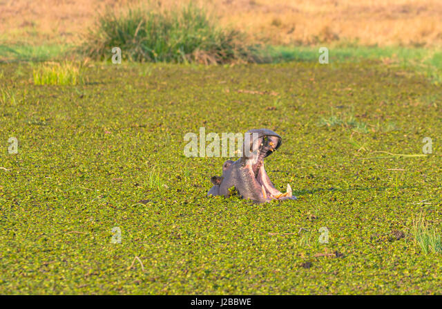 Botswana. Okavangodelta. Khwai-Konzession. Herde der Flusspferde (Hippopotamus Amphibius) im Fluss Khwai Gähnen. Stockbild