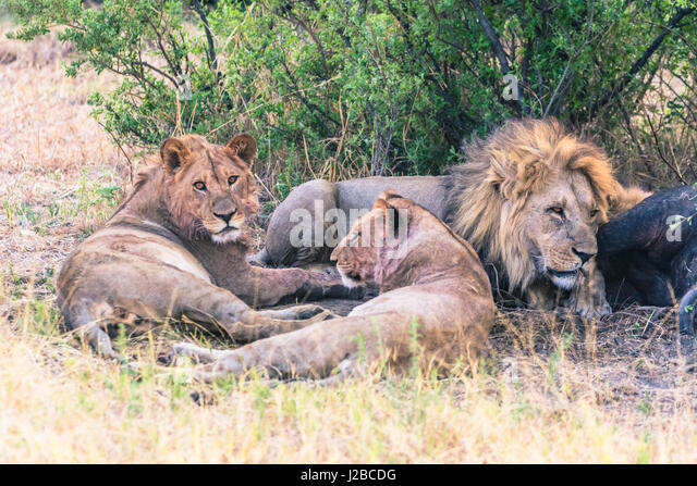 Botswana. Chobe National Park. Savuti. Stolz der Löwen Essen ein Kaffernbüffel. Stockbild