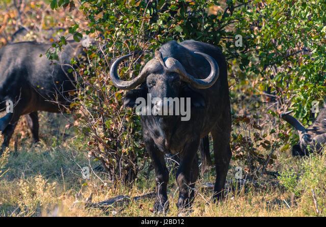 Botswana. Okavangodelta. Khwai-Konzession. Kaffernbüffel (Syncerus Caffer) mit einem Oxpecker auf dem Kopf. Stockbild