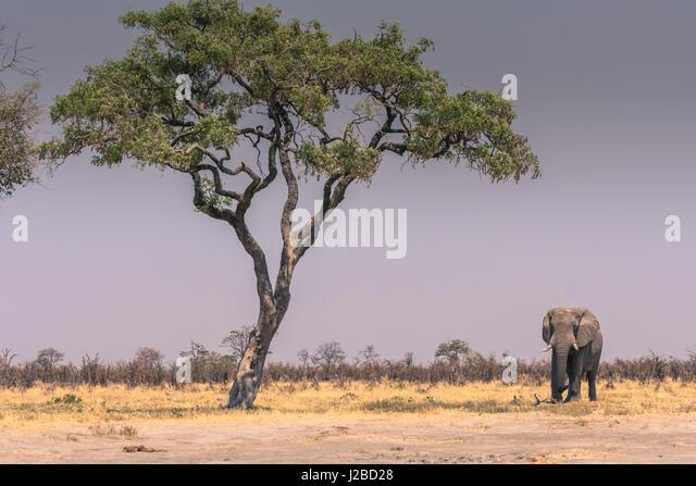 Botswana. Chobe National Park. Savuti. Elefant (Loxodonta Africana) zu Fuß in Richtung einer Wasserstelle. Stockbild