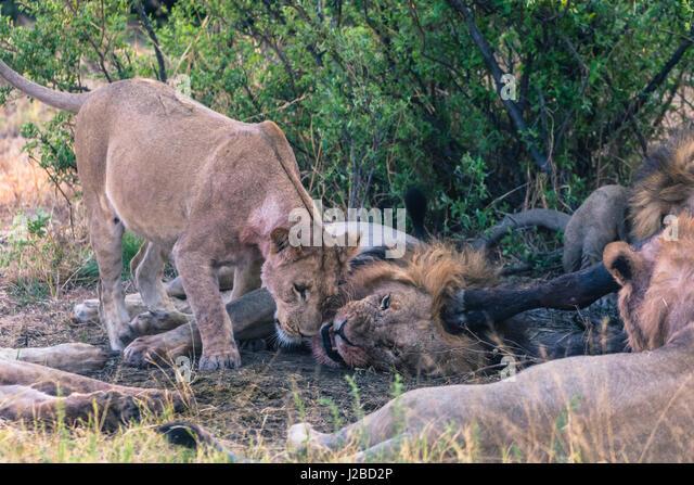 Botswana. Chobe National Park. Savuti. Gruß Ritual unter den Mitgliedern der Löwe stolz. Stockbild