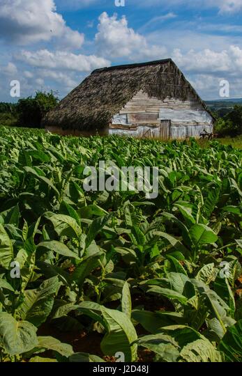 Kuba. Pinar Del Rio. Vinales. Scheune von Tabakfeldern umgeben. Stockbild
