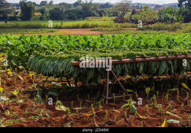 Kuba. Pinar Del Rio. Vinales. Holz Bauernhof zum Trocknen von Tabak nach der Ernte benutzt. Stockbild