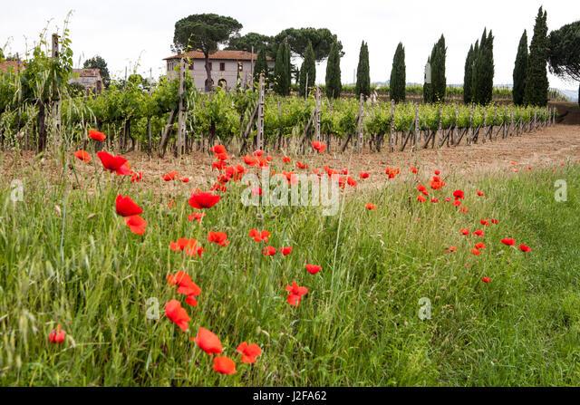 Toskana, Italien. Rote Mohnblume Stockbild