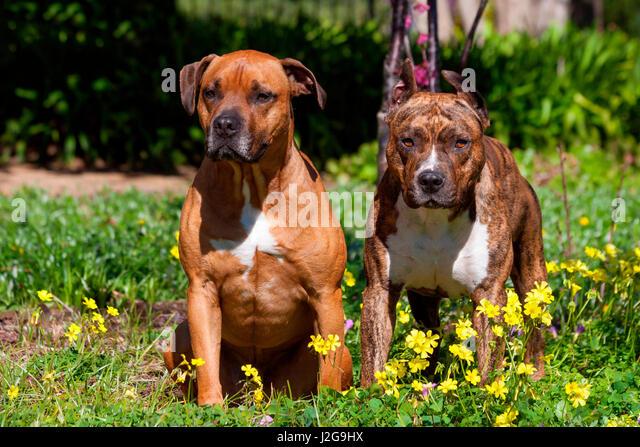 Zwei, Amerikanischer Staffordshire-Terrier (MR) Stockbild