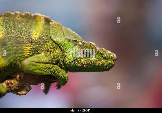 Porträt von ein grünes Chamäleon Stockbild