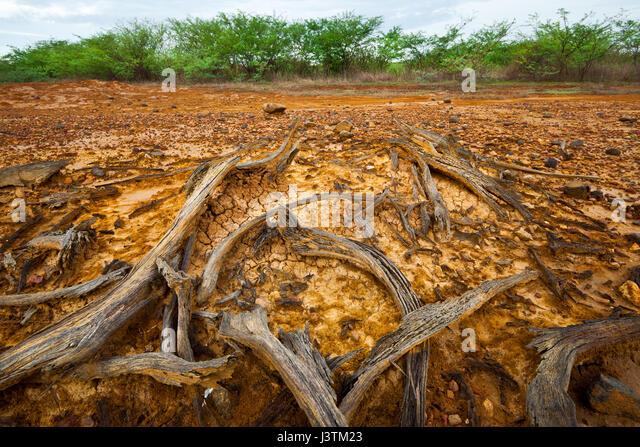 Trockenes Holz in Sarigua Nationalpark, Herrera Provinz, Republik von Panama. Stockbild