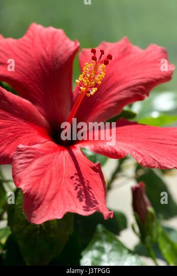 Rote Blume Hibiscus Rosa-Sinensis oder Eibisch mit geöffneten Blütenblätter und ausgeprägte Stockbild