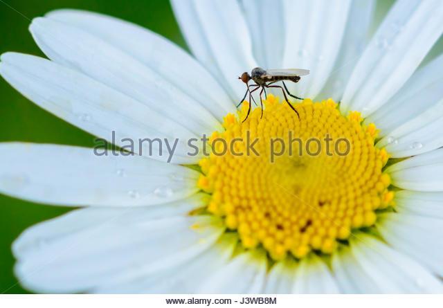 Tanzen Sie, fliegen, auch bekannt als Dolch (Empis Sp) auf eine Oxeye Daisy fliegen. Stockbild
