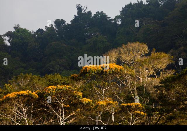 Mai Blütenbäumen in Altos de Campana Nationalpark, Republik von Panama. Stockbild