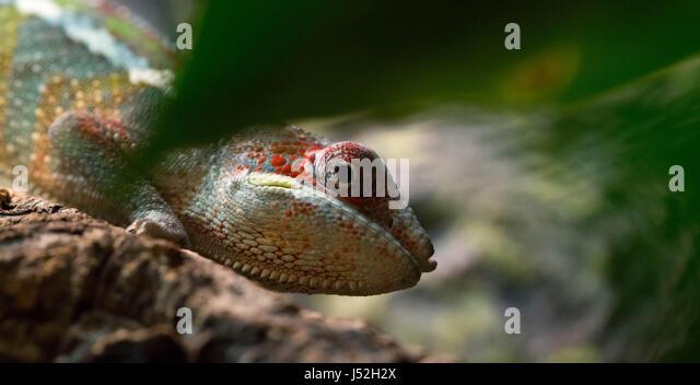 Roter Balken Ambilobe Chamäleon junges Männchen Stockbild