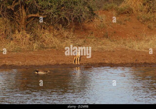 Ein Schakal beobachtet, wie eine Gans durch in einem Wasserloch im afrikanischen Busch schwimmt Stockbild
